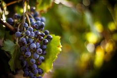 Large bunch of red wine grapes hang from a vine, warm. Ripe grapes with green leaves. Nature background with Vineyard. Wine concept by Nata. Making Wine At Home, Wine Making, Cheers, Fall Fruits, The Settlers, Homemade Wine, Sweet Wine, Douro, Wine Country
