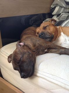 Daddy and daughter staffys having a well earned nap!!