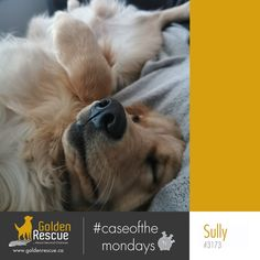 Monday plan: drink coffee, be awesome, ignore negativity. #caseofthemondays #goldenretriever #rescuedog #adoptdontshop Ignore Negativity, Drink Coffee, Sully, Rescue Dogs, Adoption, Awesome, Animals, Foster Care Adoption, Animales