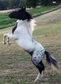 Horse. Beautiful Appaloosa with black head and spotted blanket. Horse is rearing in a field. Pretty little thing!