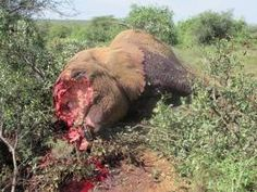 Kenya wildlife service rangers are still pursuing poachers suspected to be behind the weekend killing of 12 elephants in the Tsavo east national park. The bullet-riddled carcasses were found at bisadi area of the park with all the tusks removed. This is one of the worst poaching incidents in Kenya's 20 year history. Elephant ivory has seen increase...