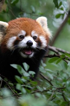 Red panda in a tree. Look at that happy face!