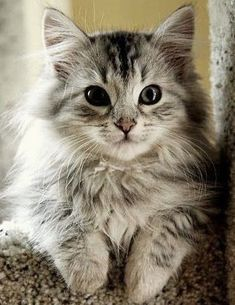 10 Best Cat-Friendly Dog Breeds Related posts:Cute Cats Maine Coon Kittens Waiting To Grow Up Into GiantsPeter Kaiser Pumps Ghana Blau Damen Peter Really Cute Kittens Cute Cats And Dogs, Cute Cats And Kittens, I Love Cats, Crazy Cats, Cool Cats, Kittens Cutest, Cutest Cats Ever, Pretty Cats, Beautiful Cats