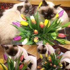 It's #sundayfunday. Smelling the tulips  is fun according to sweethearts Sylvi and Alma @birmangirls. Enjoy your Sunday!  #birmans #birman #sacredbirman #heligbirma #birmania #birmanie #pyhäbirma #instabirmans #birmansofinstagram #blueeyes #whitecats #fluffycats #instacats #catsofinstagram #cats #kittens #instakittens #kittensofinstagram #lovecats #birmavanner #tabbycats #toocute #beautifulcats #excellentcats #tortiecats #cutepetclub #brunmaskad #blåmaskad #sealpoint