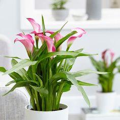 Buy Indoor Plants by Crocus Buy Indoor Plants, All Plants, Hot Pink Flowers, Elegant Flowers, Flowering House Plants, Garden Plants, Calla Lillies, Calla Lily, Zantedeschia