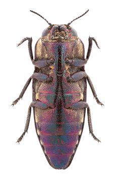 Sphenoptera antiqua (Illiger, 1803) | Flickr - Photo Sharing!