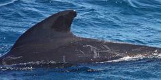 Grindwal FRANZFIN - Patenschaften für Wale und Delfine. Übernehmen Sie eine Patenschaft für einen Grindwal.