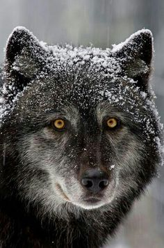 Male black wolf with yellow eyes - photo#14