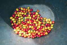 Harvested coffee beans by Richard Brown - Stocksy United Buy Coffee Beans, Espresso Shot, Coffee Images, Iced Coffee, Harvest, Vegetables, Studio, Brown, Food
