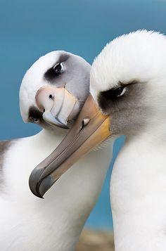 Albatrosse II  via wildencounters.net