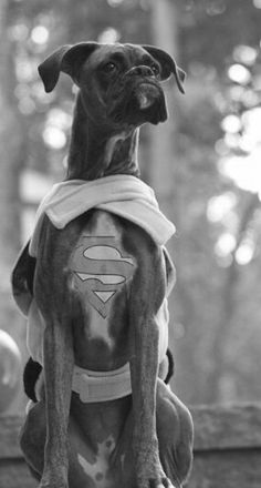 Boxer .. as a Super Dog ✿⊱╮