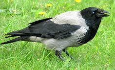 Ворона серая