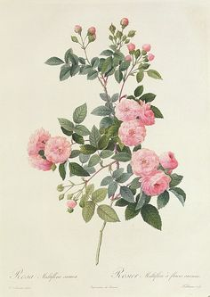 Rosa Multiflora Carnea Print By Pierre Joseph Redoute