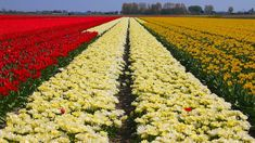 Tulip Fields near Keukenhof