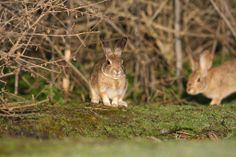 The riparian brush rabbit (Sylvilagus bachmani riparius) is a medium to small cottontail in the Leporidae family. Its colors vary from dark brown to gray above to white underneath. Adult rabbits are about 11 to 14 inches long, weighing less than 2 pounds.