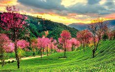 Sakura flowers prosper amid winter in the tea fields, shot at Wuliang Mt, Nanjian County, Dali.