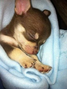 Chihuahuas - I had two and they remain two of the greatest loves of my life.