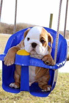 Baby bulldog in a swing... Gaahhhhh!!