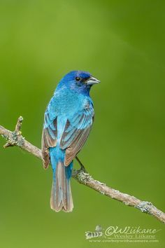 Indigo Bunting | a small song bird the size of a sparrow | by Wesley Liikane
