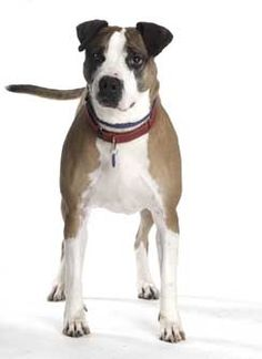 Talking Dogs at For Love of a Dog: Adopt Wendy a Boxer Mix Dog at Stray Rescue St Louis