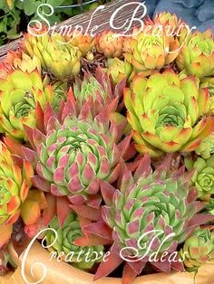 succulent | Nature - Succulents