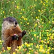 Possum repellent fox urine granules groundhogs - How to get rid of possums in the garden ...