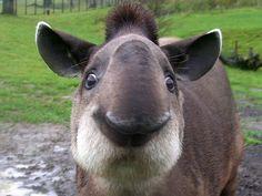 Mr. Tapir