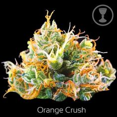 Orange Crush Our staff is devoted to the consistent selection of unique and rare genetics and the overall quality, you would definitely get your money's worth at weed for sale Props visit our site at https://www.weedonlinesupplier.com/ or call +1 775 499 8657