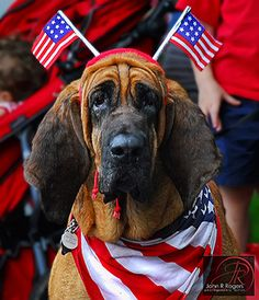 40 Of The Most Patriotic Pets You've Ever Seen Westminster, Cute Puppies, Cute Dogs, Silly Dogs, Happy Fourth Of July, July 4th, Red White Blue, Mans Best Friend, Dog Pictures