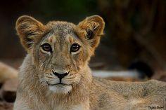 """500px / Photo """"Lion cub"""" by Tejas Soni"""