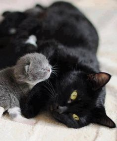Momma cat with A pile of kittens!