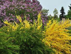 Manchurisk forsythia, Forsythia mandshurica E är härdig i zon 5 och har mörkt bruna blomknoppar som överlever vintern bra för att blomma först av alla. Busken blir inte högre än 1,5 meter och den passar utmärkt i samplantering och rabatt.