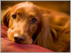 4 Dog Puppy Irish Setter Dogs Puppies Greeting Notecards/ Envelopes Set. $6.99, via Etsy.
