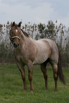 Quarter Horse stallion Peptos Bar