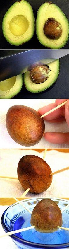 Avocado einpflanzen