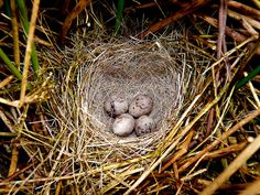 Nest of a Reed Bunting | Flickr - Photo Sharing!