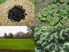 Medicinal Rice Formulations for Diabetes Complications, Heart and Kidney Diseases (TH Group-76) from Pankaj Oudhia's Medicinal Plant Database