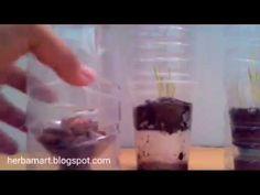 Menanam sayuran hidroponik dalam botol