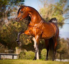 Sayo Sahran SMF (Makhnicifcent KA × Bint Bint Sayo) 2010  Straight Egyptian Bay Stallion bred by Silver Maple Farm Strain:Dahman Shahwan Family: Bint Bint Sabbah - Ansata Sabiha – Sabrah