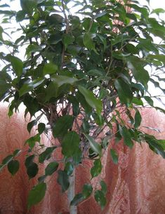 Weeping fig (Ficus benjamina) A ficus in your living room can help filter out pollutants that typically accompany carpeting and furniture su...