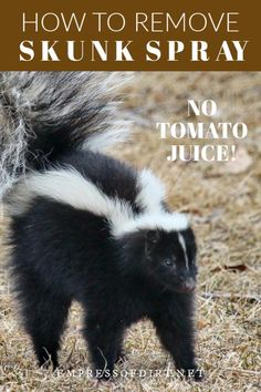 Forget the tomato juice! This is what you use to remove skunk spray. It's a simple recipe you can make at home to remove skunk odor from humans, pets, and clothing. Skunk Smell Remover, Odor Remover, Skunk Spray Remedy, Getting Rid Of Skunks, Household Pests, Tomato Juice, First Humans, Pest Control, Fleas