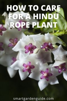 How To Care For a Hindu Rope Plant (Hoya Carnosa Compacta) - Smart Garden Guide Smart Garden, Garden Care, Indoor Gardening Supplies, Container Gardening, Gardening Tips, Hindu Rope Plant, Hoya Plants, House Plant Care, Garden Guide