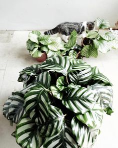 calathea fasciata and calathea orbifolia Leafy Plants, Faux Plants, Cool Plants, Indoor Garden, Garden Pots, Indoor Plants, Tropical Garden, Tropical Plants, Calathea Orbifolia