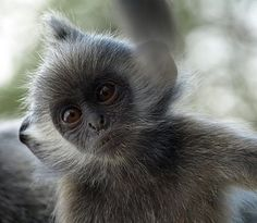 Silver Leaf Monkey or Silvered Langur  One of the many primate species residing in Sumatra.
