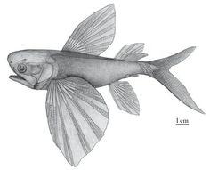 peixe voador 3
