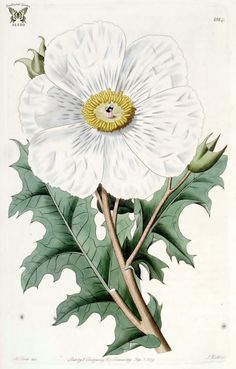 antique french botanical prit pricky poppy white flower argemone grandiflora illustration digital do - Modern French Illustration, Antique Illustration, Botanical Illustration, Vintage Botanical Prints, Vintage Art Prints, Large Flowers, White Flowers, Poppies Tattoo, Botanical Flowers