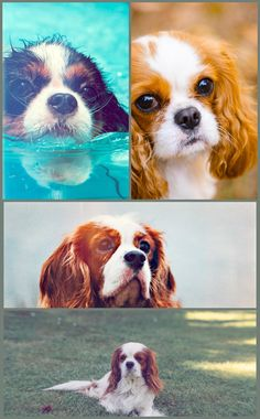 While the Cavalier King Charles Spaniel wasn't the very first type to be bred as a buddy dog, it was the very first to be bred specifically as an indoor pet dog. The not so serious was only bred for tiny rooms after it was discovered that its brief coat dropped too much when it was permitted to run around in the outdoors. Look After Your Dogs The Best Ways Possible By Using These Tips Possessing a dog is no simple task. They demand a huge amount of care, from being bathed to fed to checked