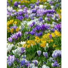 Enjoy the great colors and invite the Spring, with the first Spring coloring combination of Blue & White Crocuses combined with Mini Daffodils Tete a Tete. This Collection is great for naturalizing purposes. Each pack of 100 bulbs contains 50 Crocus bulbs & 50 Narcissus Tete a Tete. Great deal on Spring Collection bulbs. We supply Top Size bulbs!
