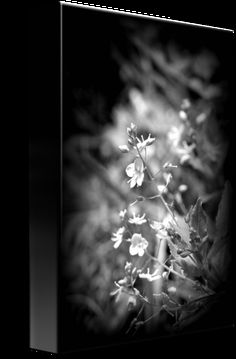 """""""Speedwell+wildflowers+black+and+white""""+by+Dawna+Morton,+Rainier+//+Beautiful+black+and+white+photo+of+tiny+Speedwell+wildflowers,+genus+Veronica++plant+family+Plantaginaceae.+Not+sure+which+variety+since+there+are+so+many+//+Imagekind.com+--+Buy+stunning+fine+art+prints,+framed+prints+and+canvas+prints+directly+from+independent+working+artists+and+photographers."""