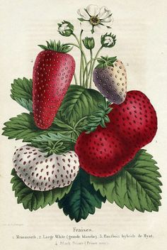 Botanical picture Strawberries. La Belgique Horticole,1851